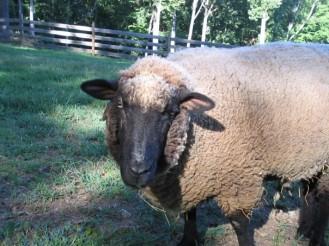 Isobel the sheep